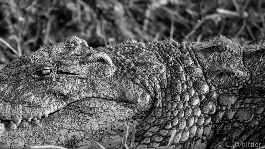 A large nile crocodile on the bank of the Chobe River