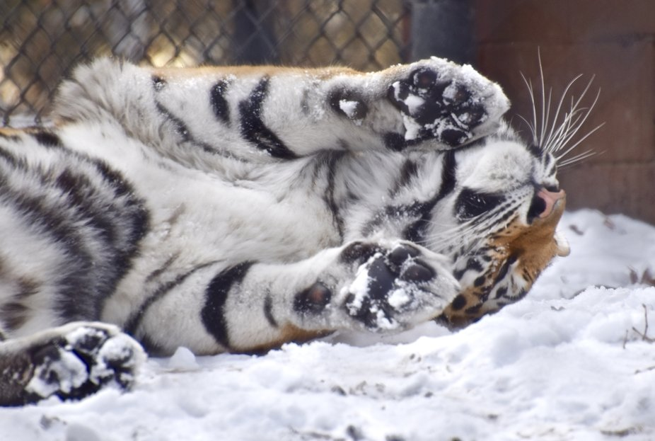 This tiger was rolling in the snow and appeared to making a snow angel.