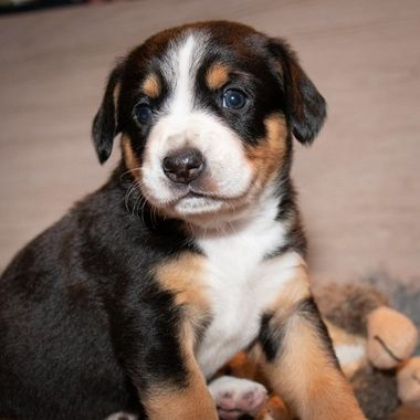 Entlebucher puppy, four weeks old