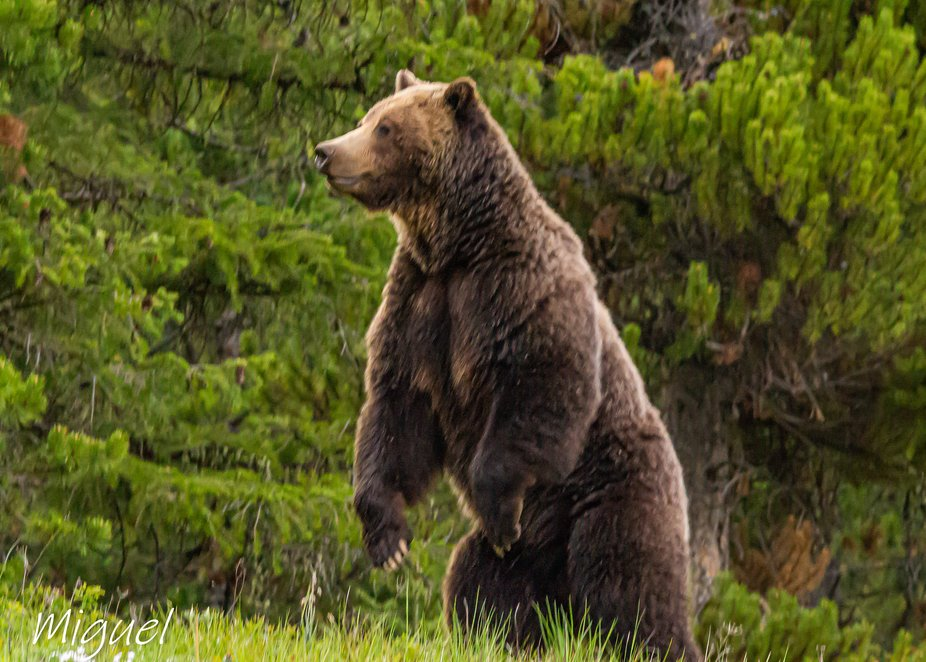 Grizzly Bear standing to get a better idea of what I was