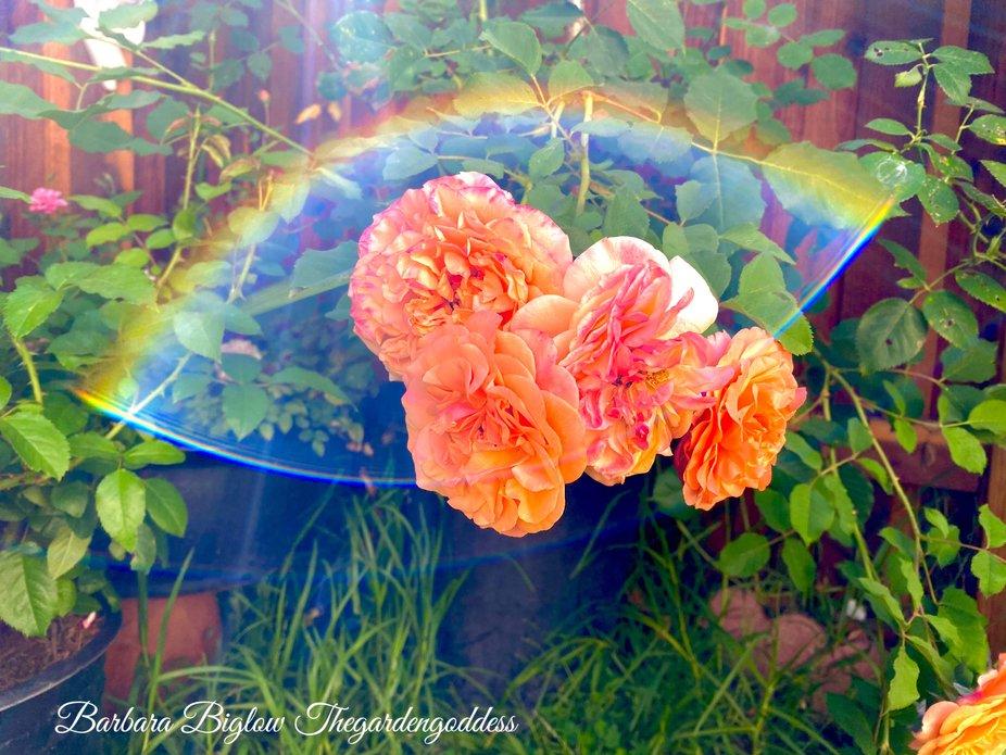 Prisum Rose