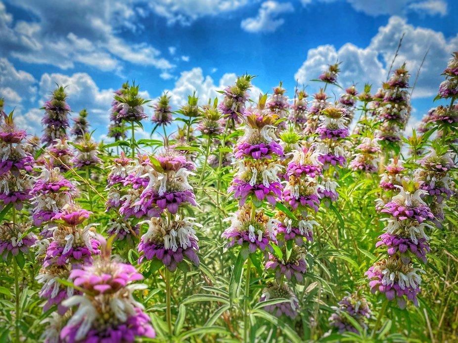 A Texas wildflower.