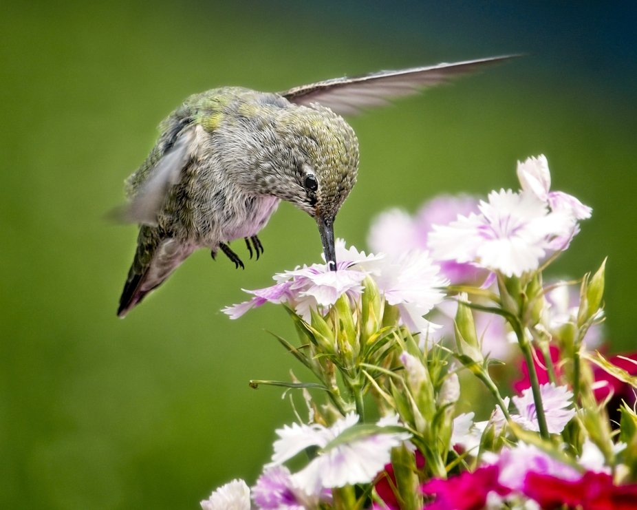 An  Anna's hummingbird is hovering a flower in our garden...