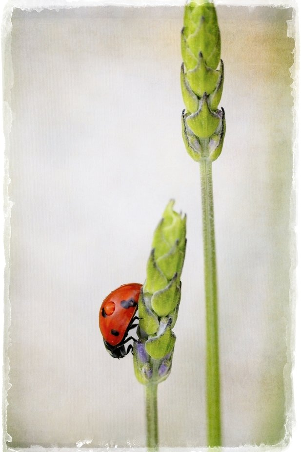 The ladybug can't wait for the lavender to bloom to enjoy that sett smell. A little texture on the background to give a painterly look.