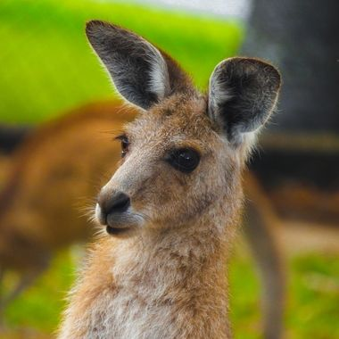 kangaroo closeup in Australia