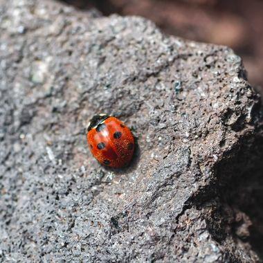 ladybug met on a volcano Etna's rock