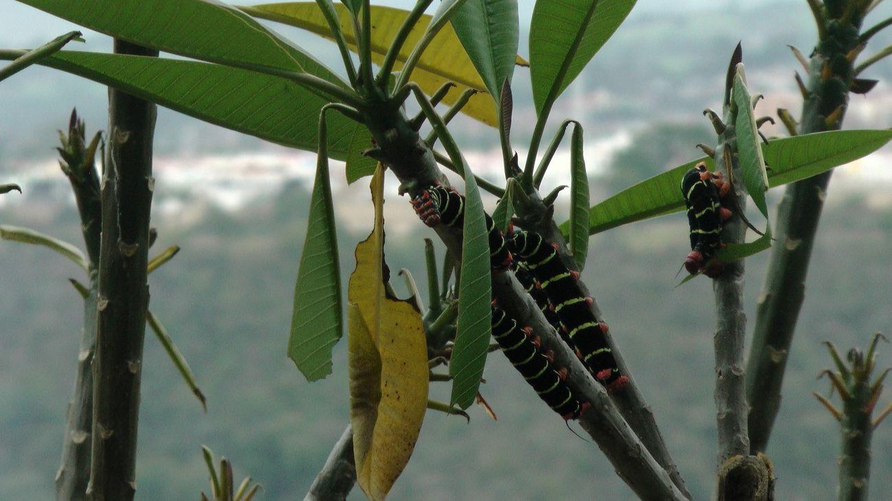 Gusanos hipas, arasando con una planta