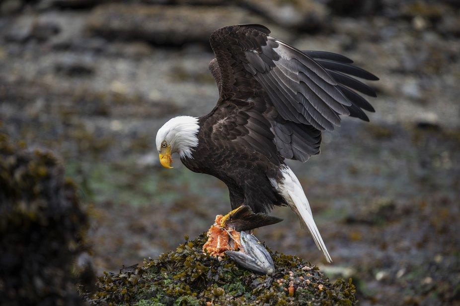 Salmon and the Eagle