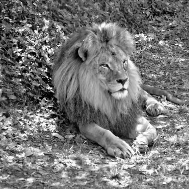 The King - Black And White