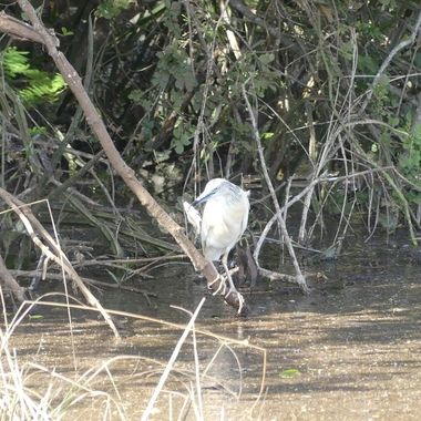 This photo was taken at Lake Ihema in Akagera National Park, Rwanda. The Madagascar Pond Heron is an endangered species, a non breeding visitor to parts of Africa in April and May. Rarely seen in Africa is the breeding plumage which is white as in this picture.