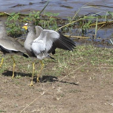 African Wattled Lapwing Pair