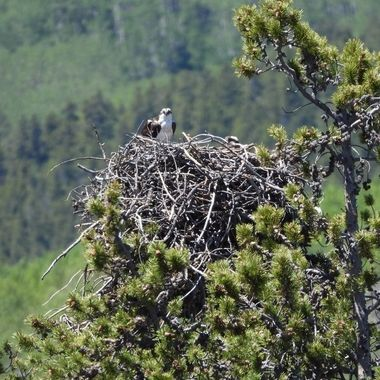 Osprey of Twin Lakes
