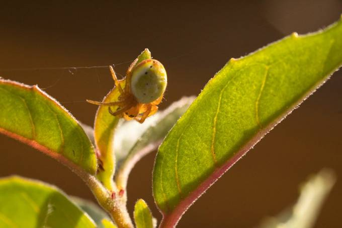 The green spider who lived in my fuchsia.