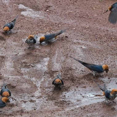 Swallows collecting mud to build nests