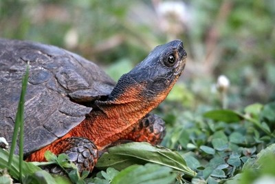 Wood Turtle up close