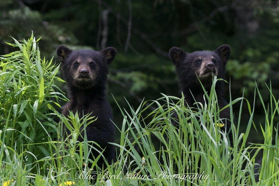 a couple black bear cubs