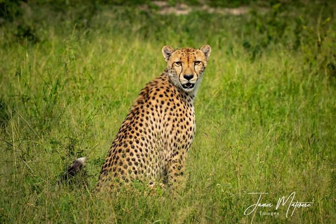 Sabi Sands Cheetah 2020