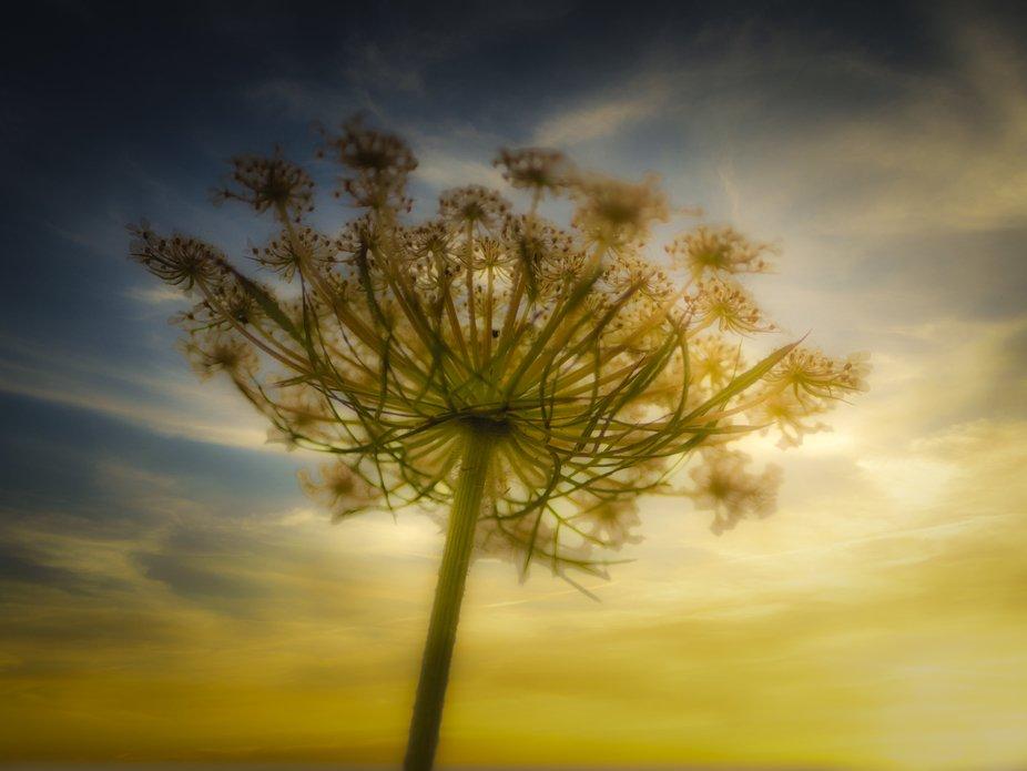 Une fleur de Daucus tourne vers le soleil.