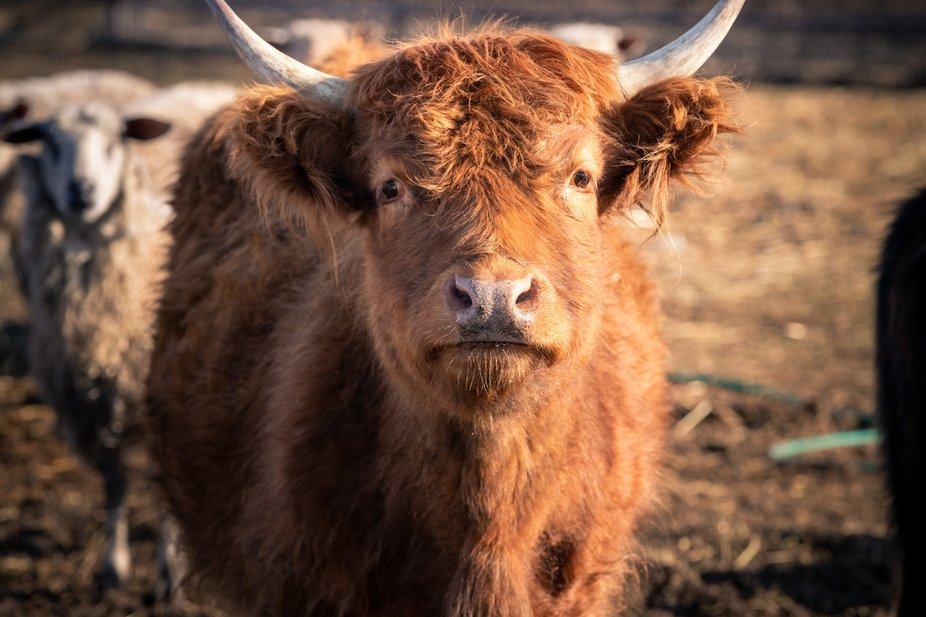 This sweet-faced cow was a rescue after the previous owner passed on.