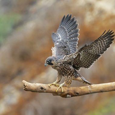 Peregrine Falcon baby 2020 DSC08979