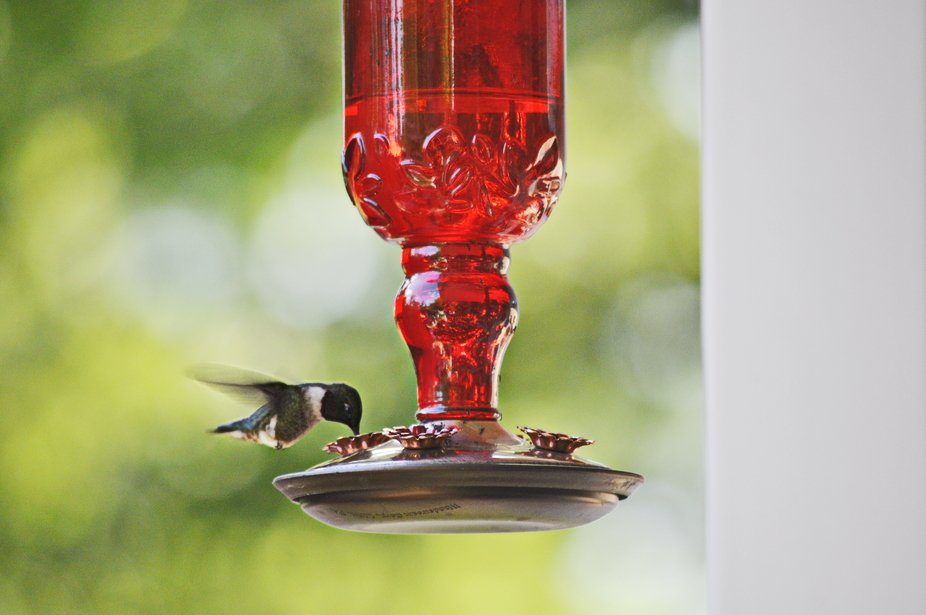 Captured this little guy at the feeder on the post of my deck.