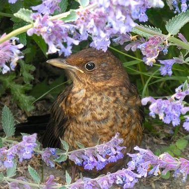 Baby blackbird in the flowers
