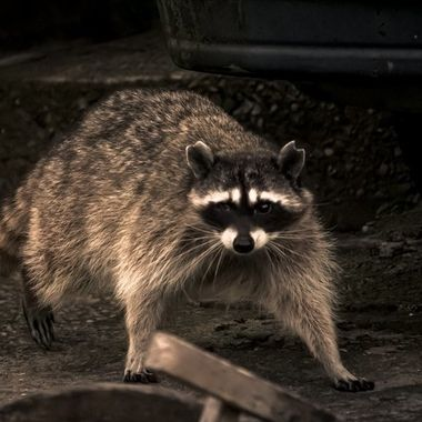 Judging by it's missing eye, chunks missing out of its's ears, this raccoon is clearly a survivor.