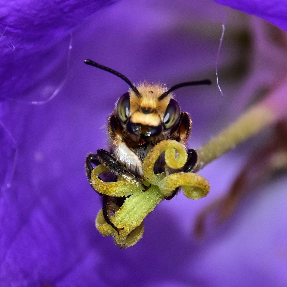 Das ist dieser eine Moment, den man festhalten muß. Blatt Schneider Biene beim schlafen in einer Blume