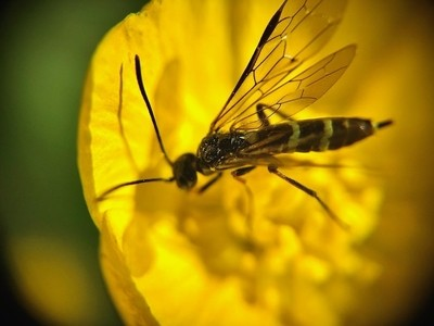 Buttercup & sawfly