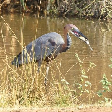Golaith Heron Feeding 6