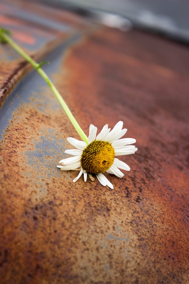 The daisy on this rusted car hood was a happy accident.
