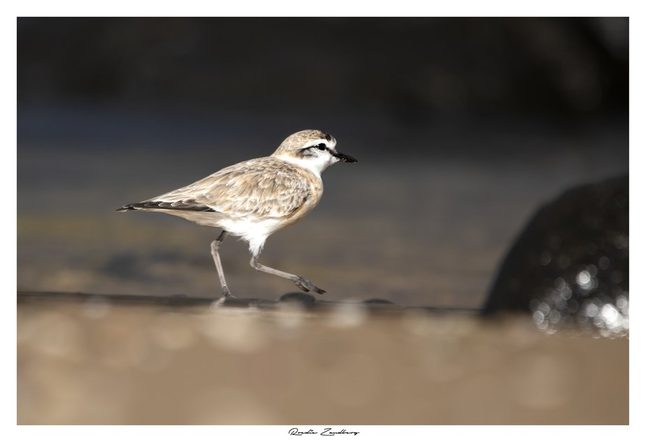 Plover feeding in the shallows