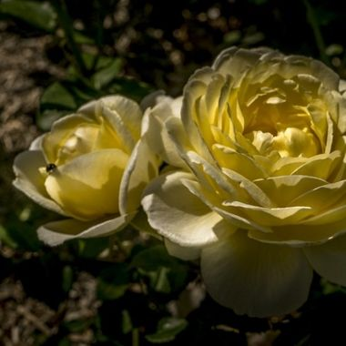 Deux roses jaunes épanouies au soleil.