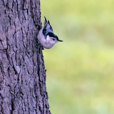 White-breasted Nuthatch  _DSC8307