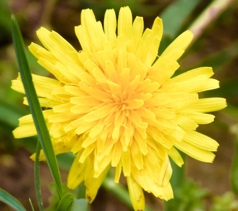 It is just a weed that we all try to kill out of our yards but they are pretty if you stop to look