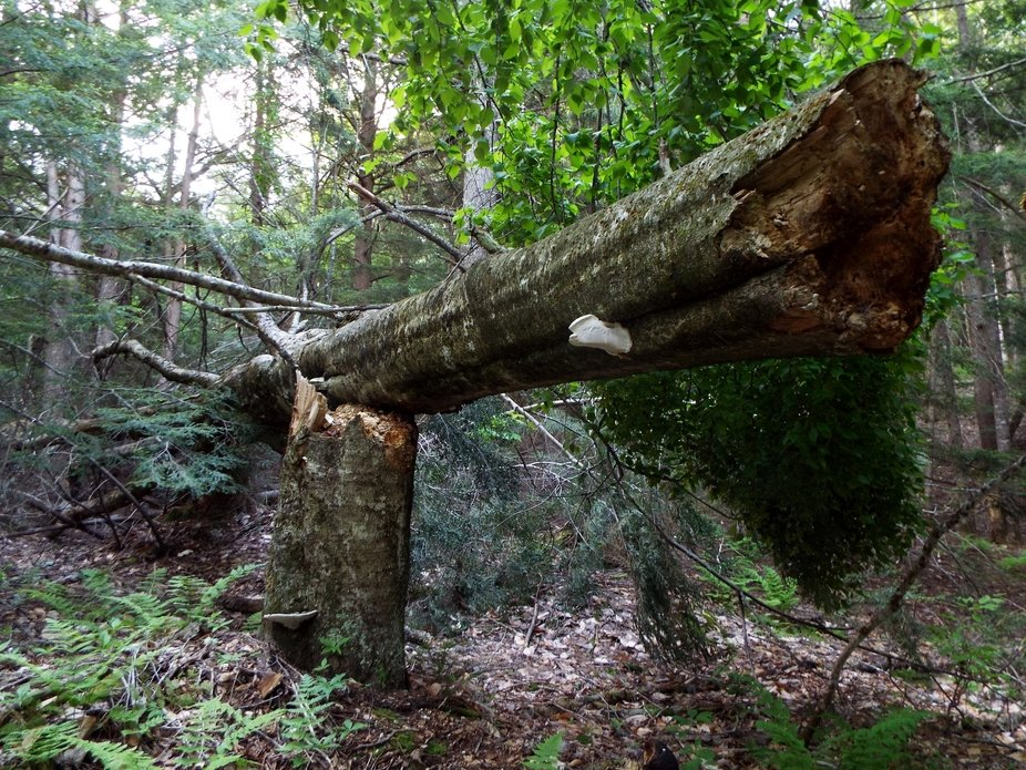 This tree landed on top of itself after falling..Would have loved to have seen it!