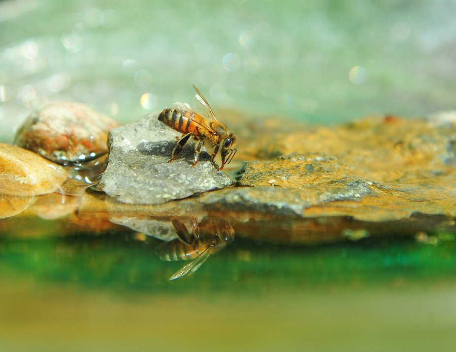 Honey bee taking a drink at the bee bath