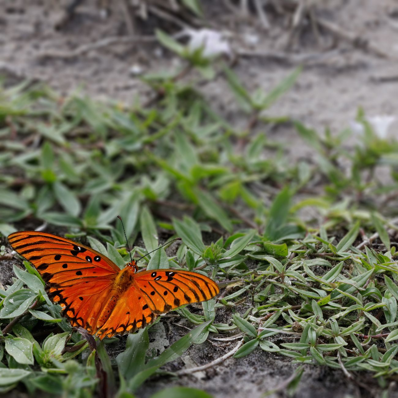 A red butterfly against low green vegetation and gray sand in the Everglades.