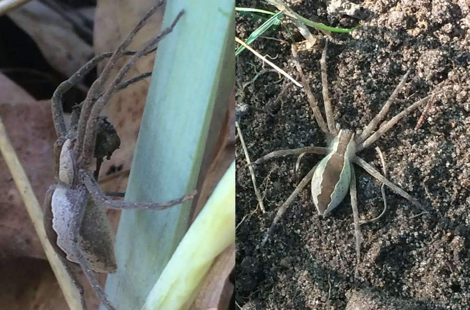 I found 2 of these that were almost identical. The one on the left had something in its mouth.  It was identified as a Nursery Web Spider due to the care it gives its eggs. Found on Iris and other plants. It will jump if you touch it softly with a  blade of grass.