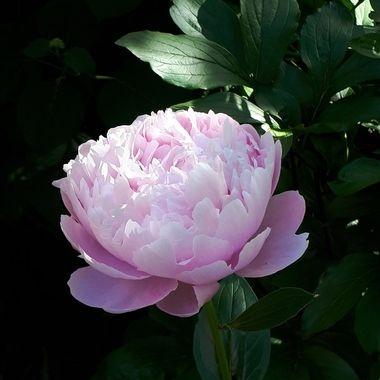 Rose & White
