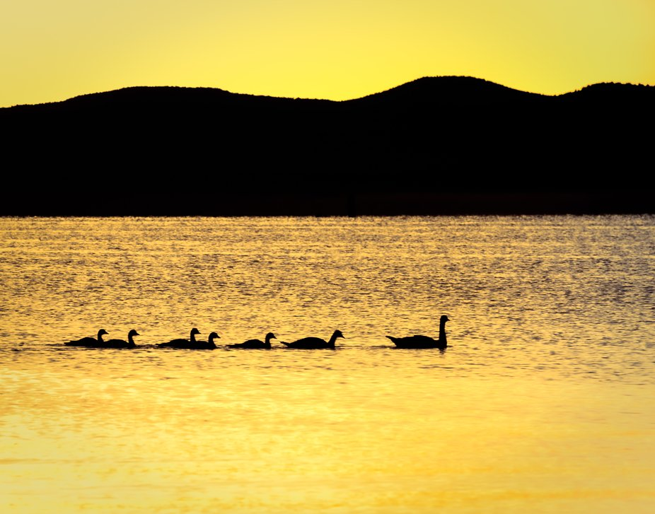 As the morning sun broke over the foothills of Mono Lake, this family of geese took a stroll past...