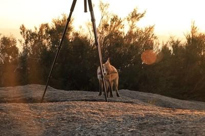 Fox hunting...a tripod