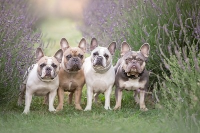Flowers & Frenchies