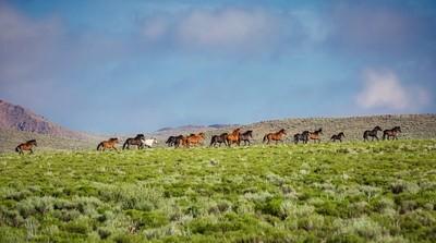 Wild Horse Mesa Mustangs