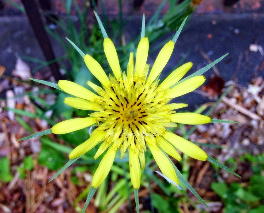 a yellow flower shaped like a star burst