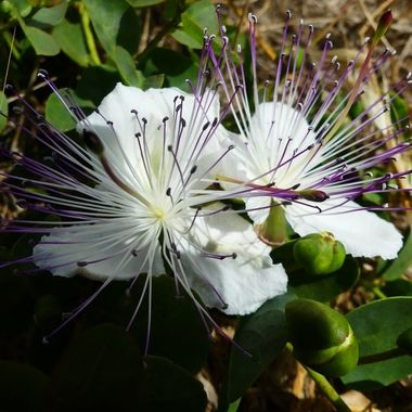 Capers in flower
