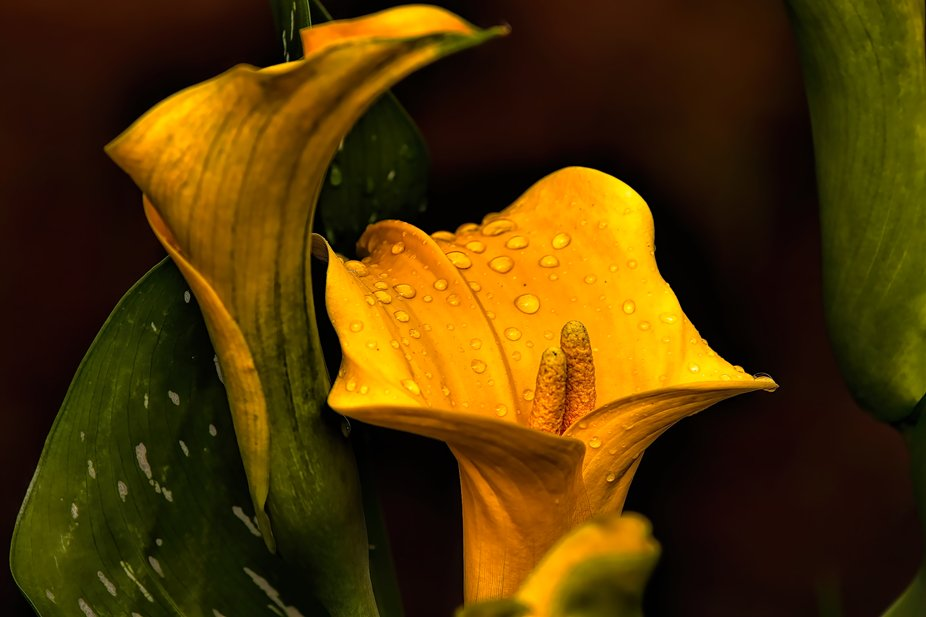 The Twin Stamen on the Golden Calla with Raindrops