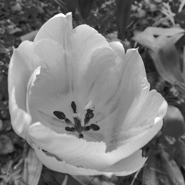 bw tulip-130114