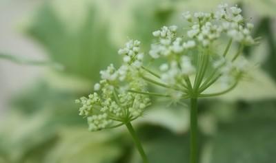 Tiny White Flower Cluster 1