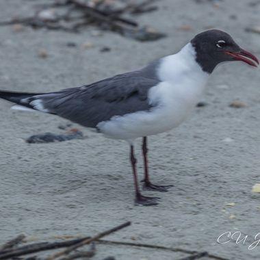 Folly Beach Seagull